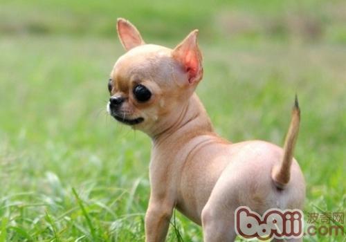 止吠器对狗狗有伤害吗