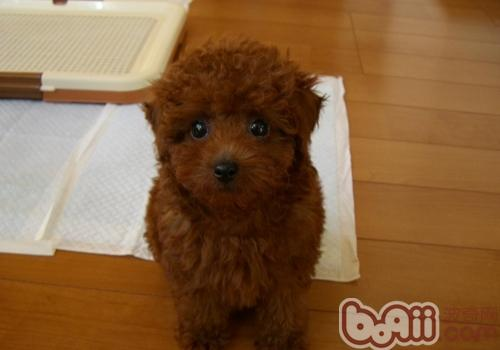 怀孕的泰迪犬吃什么