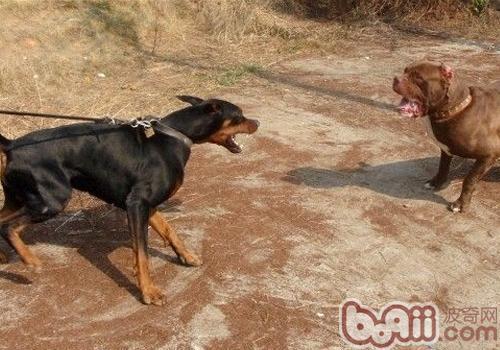 杜宾犬打架