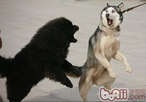 为什么哈士奇像狼