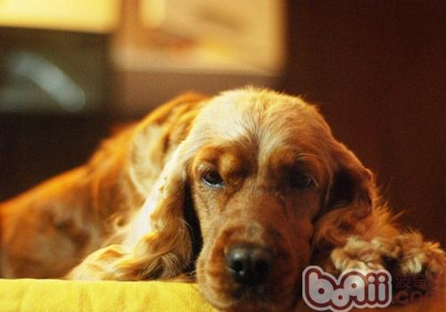 狗狗疾病的愈后护理
