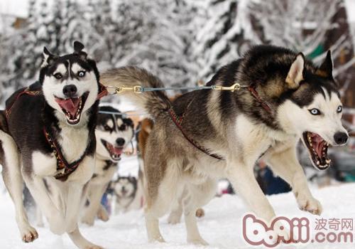我们熟悉的雪橇犬有哪些