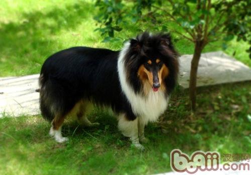 狗狗尾巴表达的含义有哪些