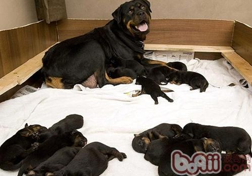 产后母犬不进食怎么办
