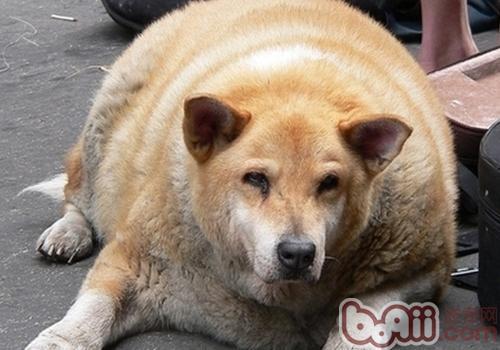 狗狗过胖或过瘦的原因
