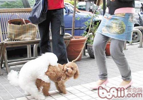 狗狗的爬跨行为表达的意思