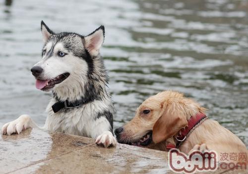 什么样的狗狗适合游泳