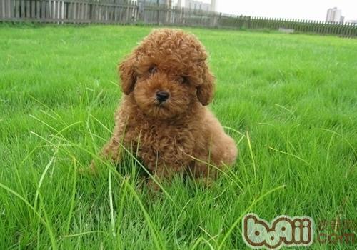 泰迪狗怀孕的特征