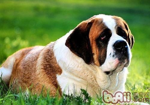 圣伯纳犬的体味重吗