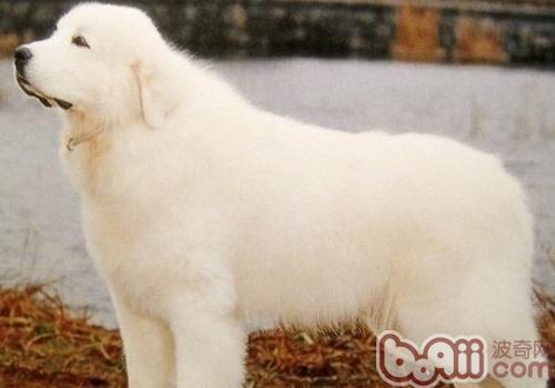 大白熊犬听话吗