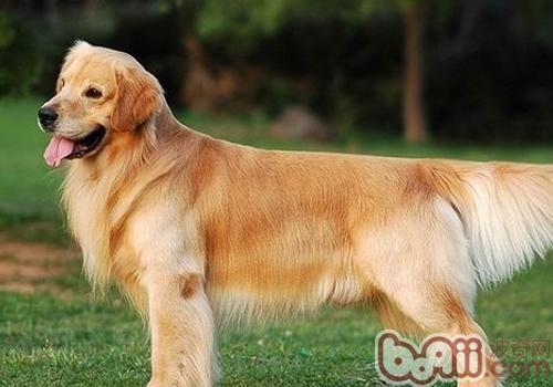 什么是狗狗血统证书