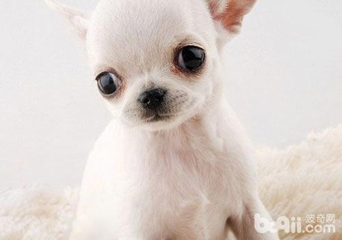 妊娠期的吉娃娃犬如何喂养