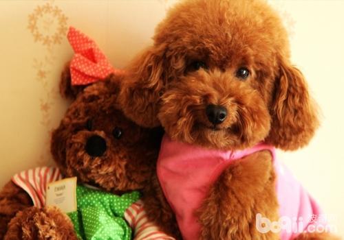 泰迪犬好养吗