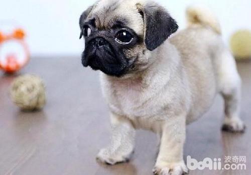 如何辨别纯种的巴哥犬