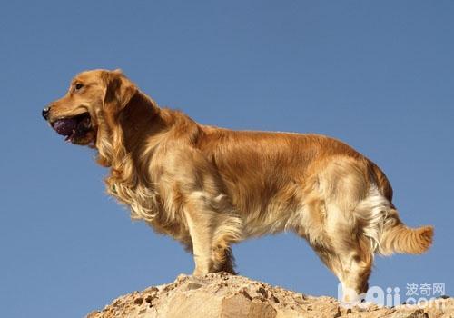 金毛犬为什么可以被选做导盲犬