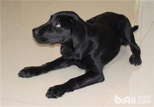 黑色拉布拉多犬的价格偏高