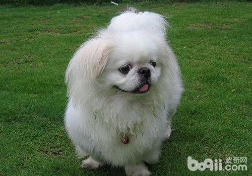 购买京巴犬的注意事项