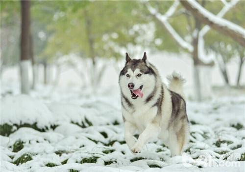 狗狗喜欢下雪的原因及雪天遛狗注意事项