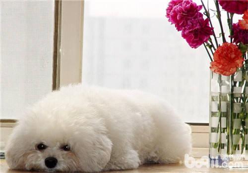 给狗狗做安乐死的原因及操作方法