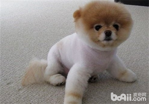 关于狗狗剃毛的那些事