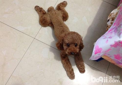 狗狗喜欢趴在地板上的原因分析