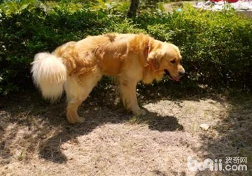 狗狗喜欢在不同地方撒尿的原因分析