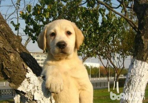 关于拉布拉多犬的运动知识