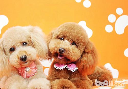 狗狗美毛的黄金季节是什么时候