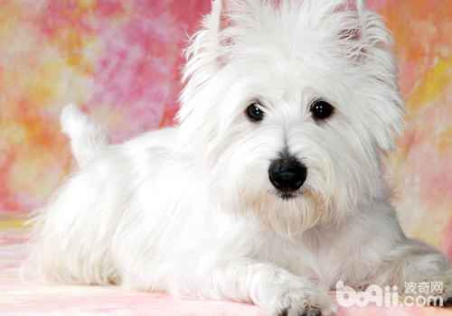 买狗注意狗狗的血统证书