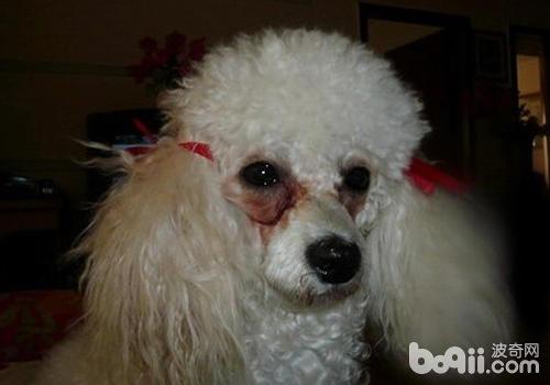 狗狗吃什么狗粮有助于改善泪痕