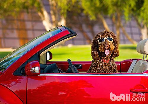狗狗乘车需要注意哪些潜在威胁