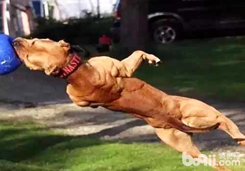 狗狗力量训练的方法介绍