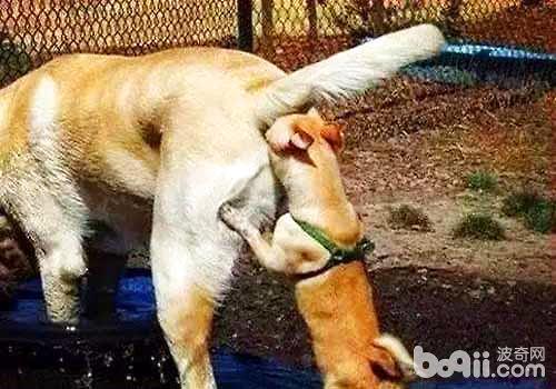 为什么狗狗喜欢互相闻屁股