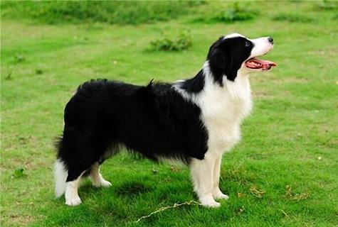 苏格兰牧羊犬性情怎么
