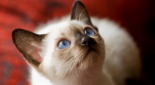 你知道猫咪气愤的体现吗