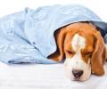 狗狗发烧发烧感冒打二天针可以了吗