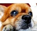 怎么缓解博美犬换牙齿不舒服?