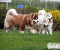 阿拉斯加犬普遍的皮肤疾病都有哪些?