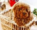 泰迪犬常常泪汪汪的是有哪些眼睛疾病吗?