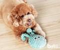泰迪犬反胃一般都有哪些缘故?