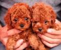 泰迪茶杯犬能長多少?茶杯泰迪吃什么狗粮?