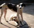 怎样对两个月的灵提犬练习?