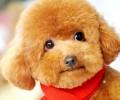 狗狗讲堂——怎么练习泰迪不被咬手