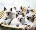 怎么选择健康的暹罗猫