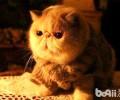 加菲猫为什么不能养?不养加菲猫的三大理由
