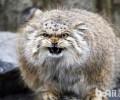 国际十大禁养名猫 你见过几种呢